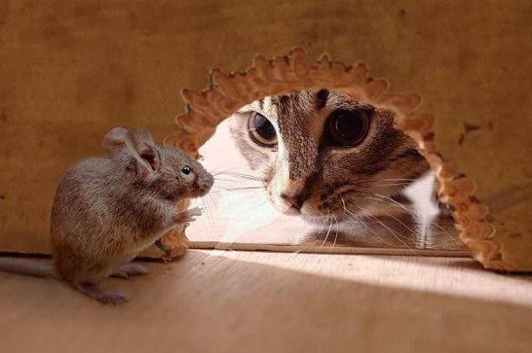 кот ловящий мышь