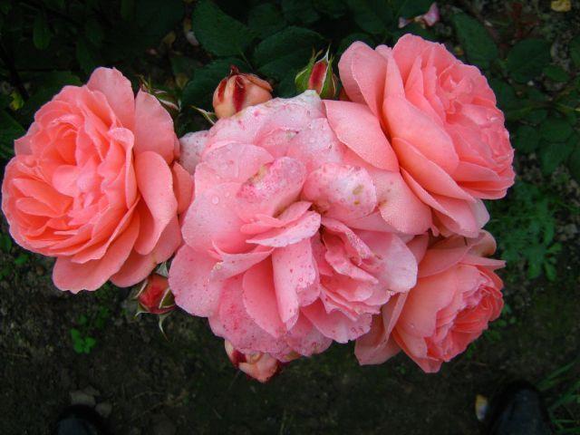 Цветы амалия