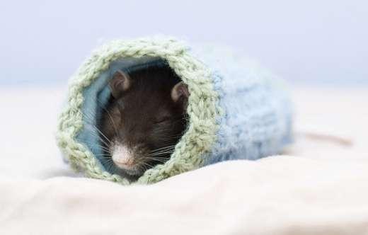 Szczurki 6