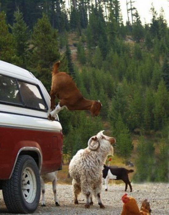 Szalone kozy 5