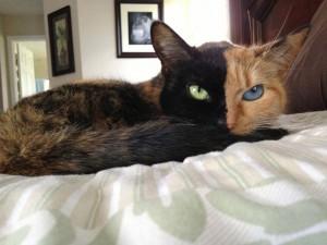 Y�z�n�n�n �ki Yan� Ve G�zleri Birbirinden Tamamen farkl� Kedi