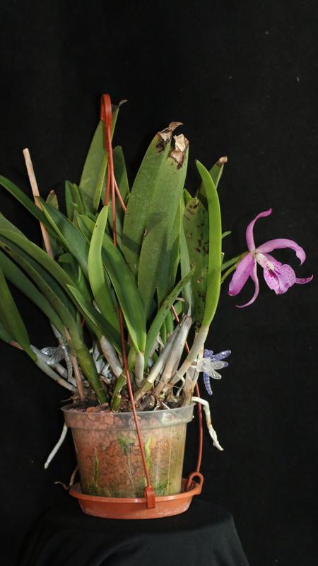 re seramis tongranulat als orchidensubstrat 13. Black Bedroom Furniture Sets. Home Design Ideas