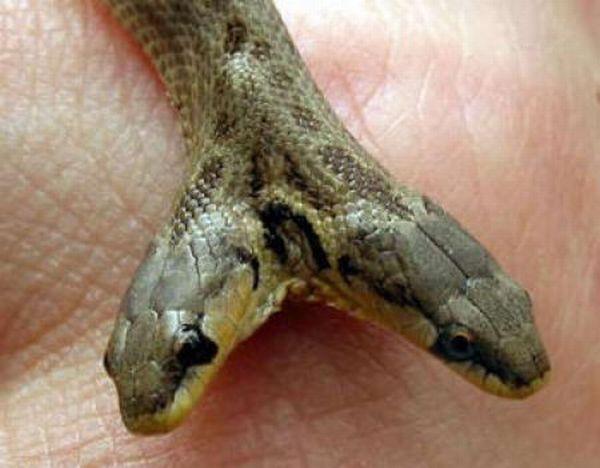 Dwugłowe węże 4