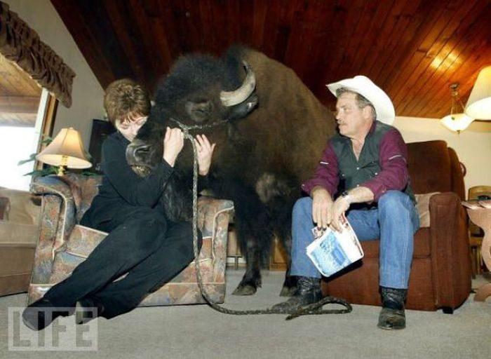 Udomowiony bizon 16