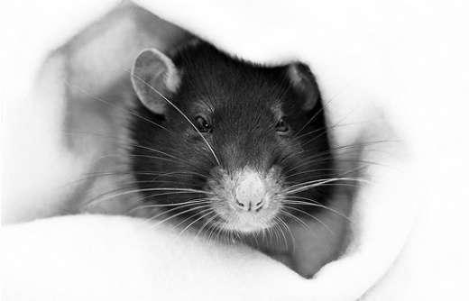 Szczurki 11
