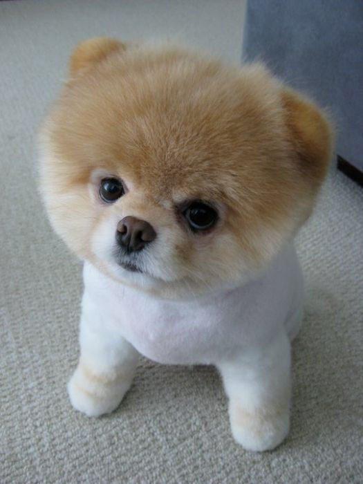 Boo - najpopularniejszy pies na Facebooku 17
