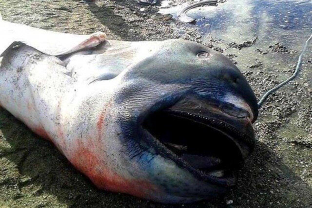 Rekin wielkogębowy 4