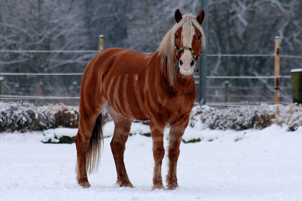 milas letzten winter - Pferd Scheren Muster