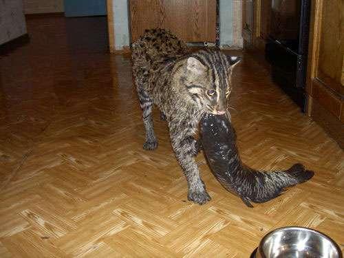 Udomowiony Taraj (Fishing cat) 10