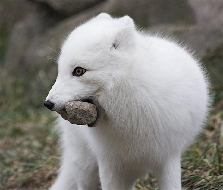 Biały lis 3