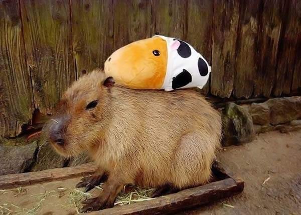 Udomowiona kapibara 66