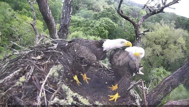 Ne Eagle First Egg Of 2016 Season Gotoby