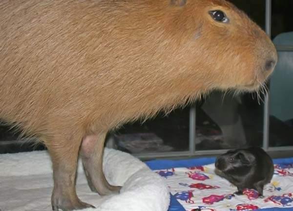 Udomowiona kapibara 12