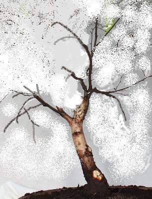pin birke bonsai baum zeichnung on pinterest. Black Bedroom Furniture Sets. Home Design Ideas