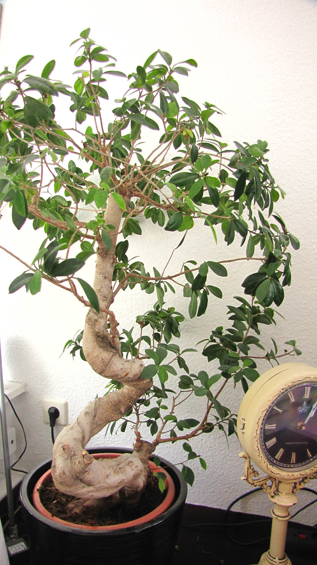 ficus australis ikea 3 fragen gie en schneiden d ngen. Black Bedroom Furniture Sets. Home Design Ideas