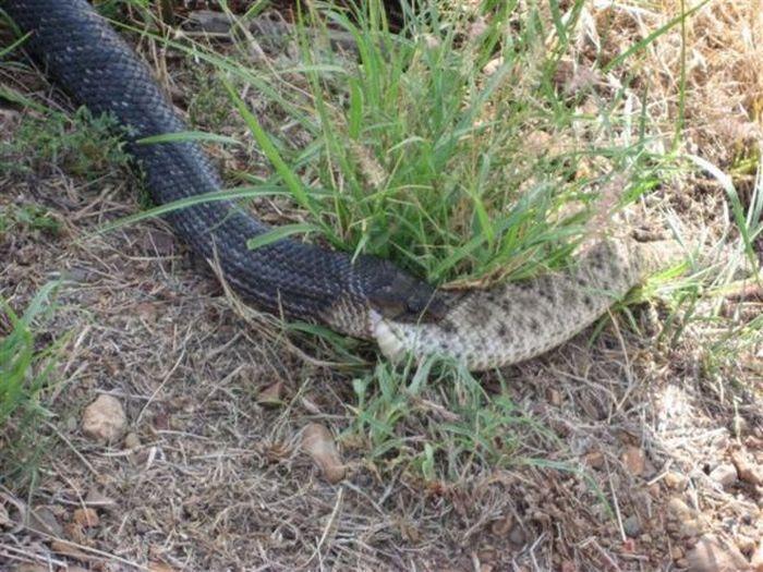 Wąż kanibal 3