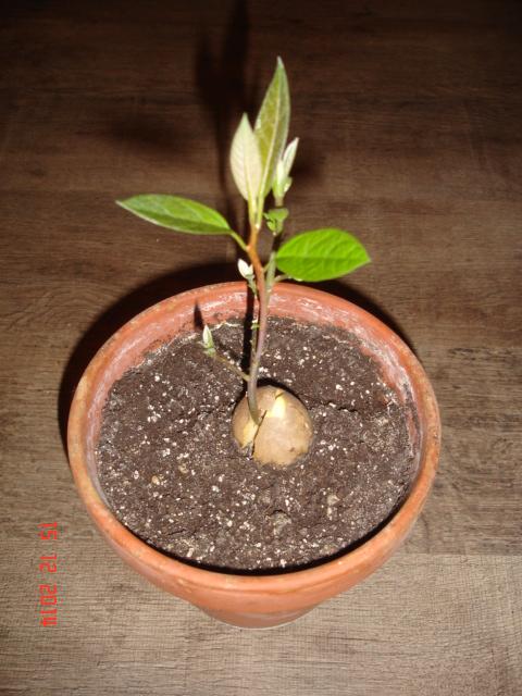 avocado samen anzucht vermehrung green24 hilfe pflege bilder. Black Bedroom Furniture Sets. Home Design Ideas