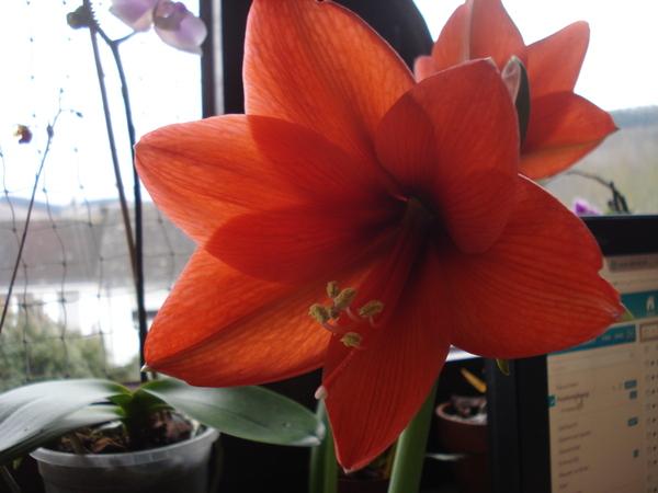 amaryllis zwiebel knollenblumen seite 3. Black Bedroom Furniture Sets. Home Design Ideas
