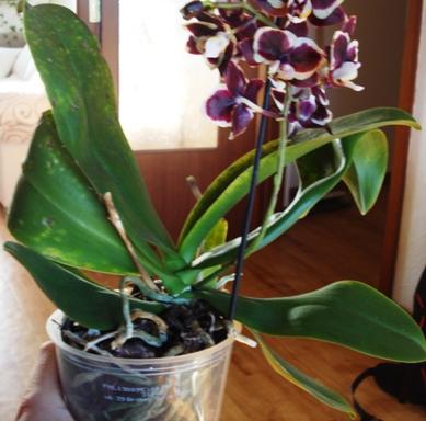 orchideen pilze oder viren zu h lf pflanzenkrankheiten sch dlinge green24 hilfe pflege. Black Bedroom Furniture Sets. Home Design Ideas