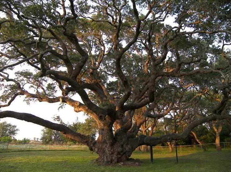 Najdziwniejsze drzewa świata 7