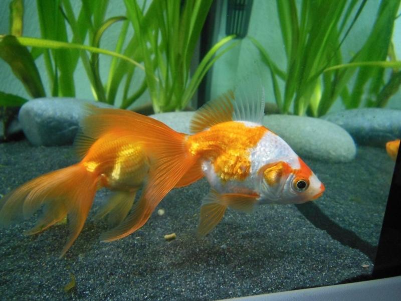 goldfische und diverses anderes fische halten sich am