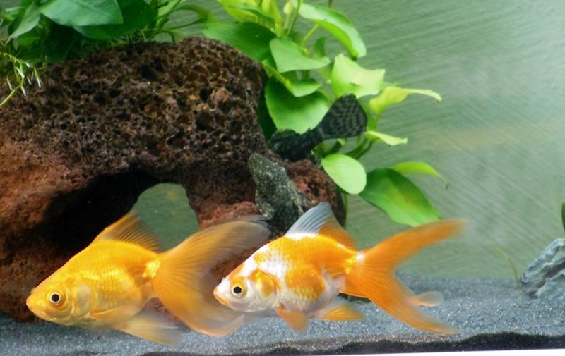 Goldfische und diverses anderes fische halten sich am for Fische halten