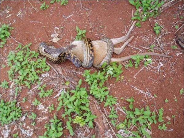 Wąż pożerający kangura 1
