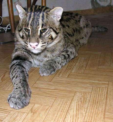 Udomowiony Taraj (Fishing cat) 3