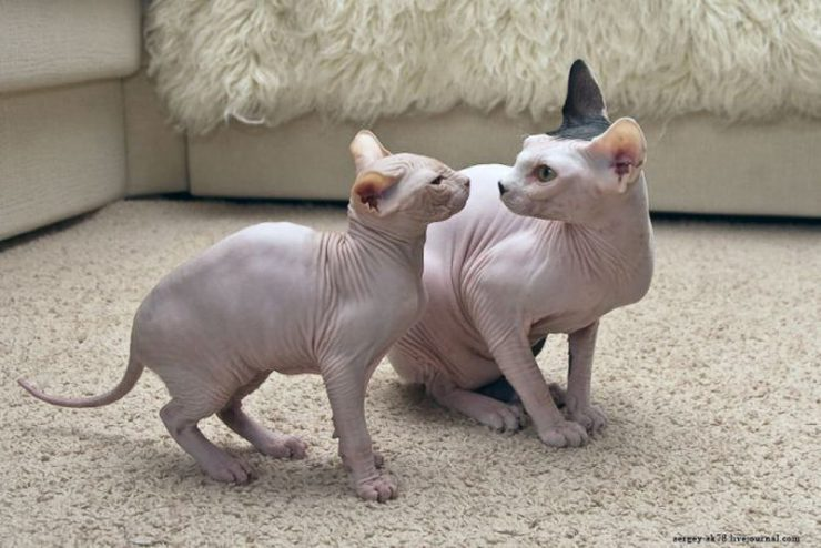Sfinks - łysy kot 8