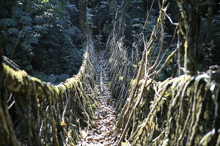 Mosty z korzeni drzew 3