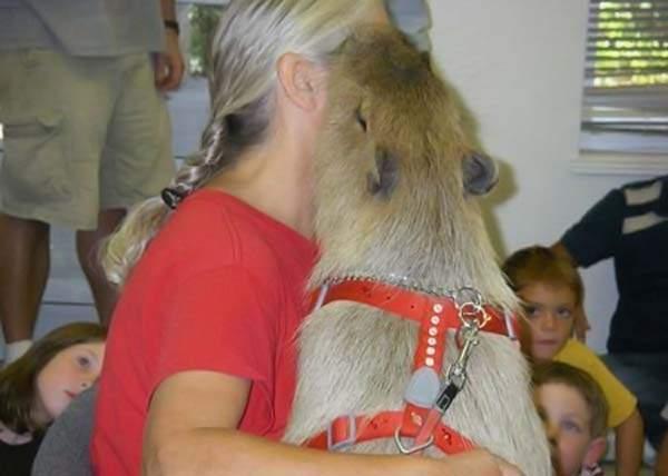 Udomowiona kapibara 38