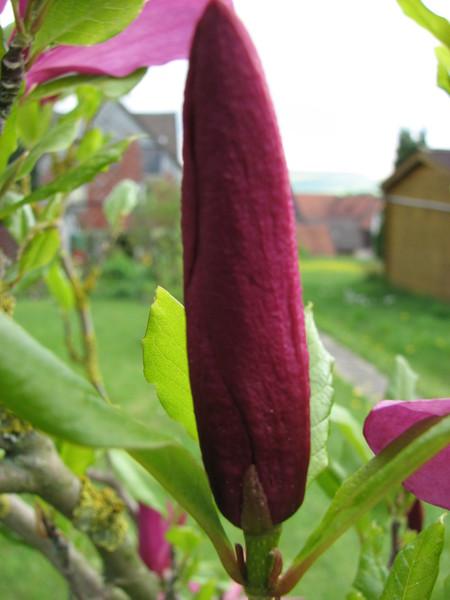 arifs gartenwelt magnolie bl ht schon str ucher seite 10. Black Bedroom Furniture Sets. Home Design Ideas