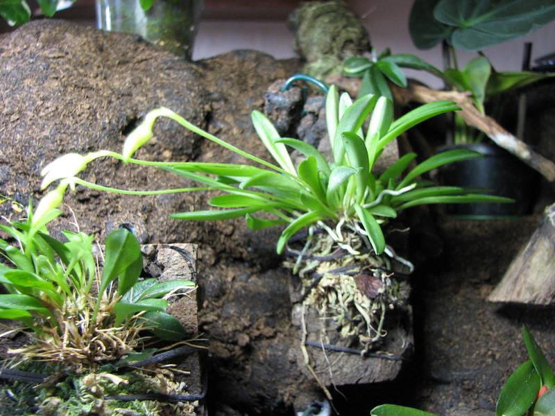 Led Beleuchtung Orchideen : Arifs Gartenwelt ? MiniOrchideen  Orchideen  Seite 21