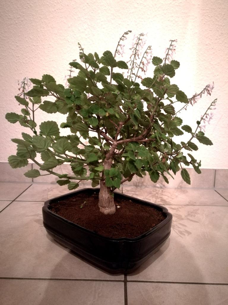 bl ten bonsai thread seite 105. Black Bedroom Furniture Sets. Home Design Ideas