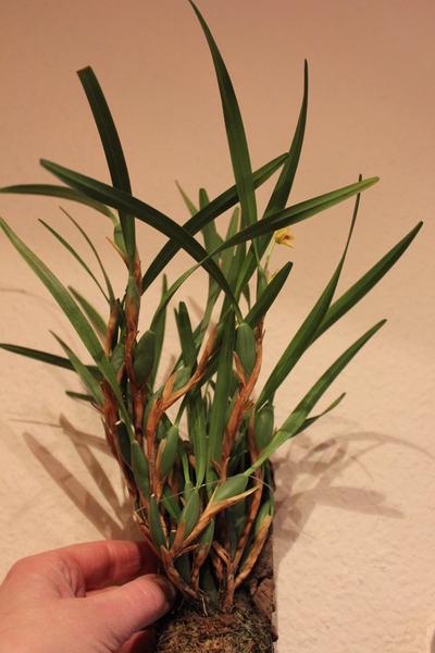 arifs gartenwelt mini orchideen orchideen seite 21. Black Bedroom Furniture Sets. Home Design Ideas