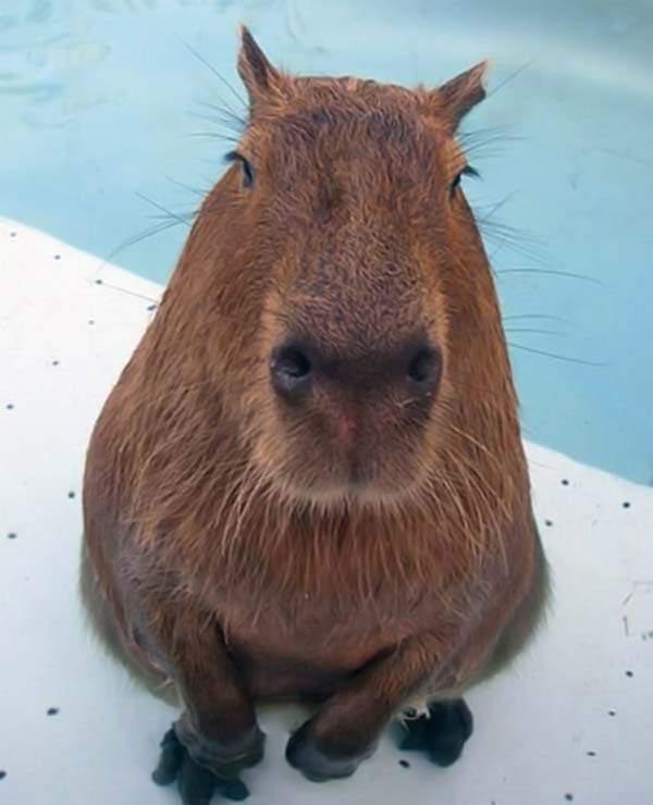 Udomowiona kapibara 64