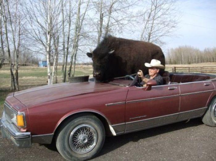 Udomowiony bizon 8
