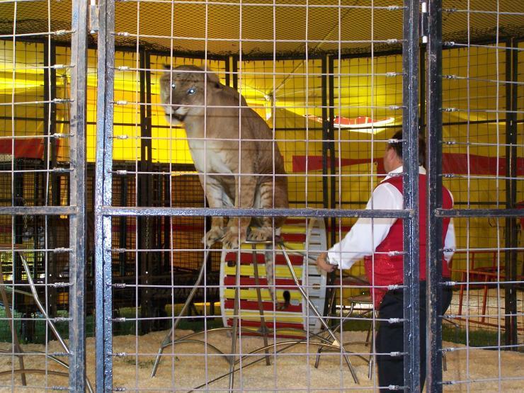 Lygrys - największy kot świata 14