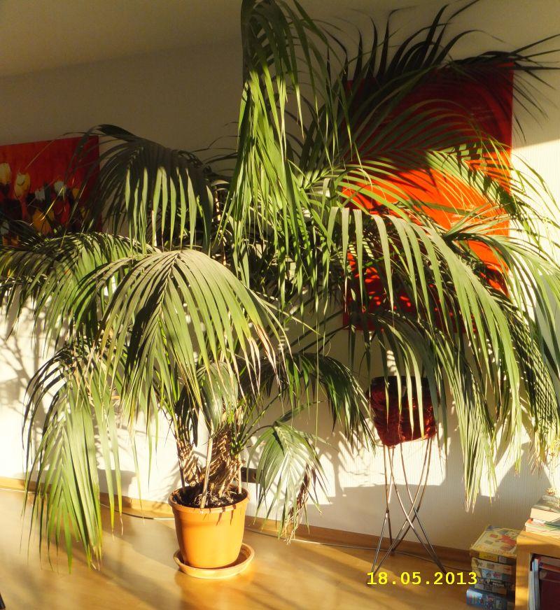 kentia palme howea forsteriana. Black Bedroom Furniture Sets. Home Design Ideas