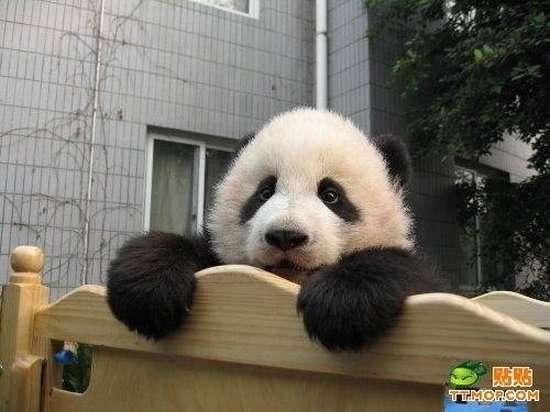 Małe pandy 12