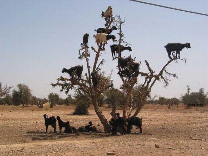 Szalone kozy 17