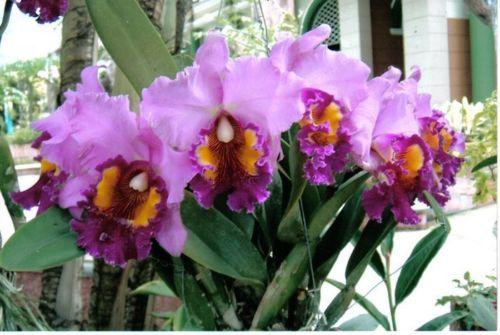original aus thailand jungpflanze orchidee cattleya. Black Bedroom Furniture Sets. Home Design Ideas