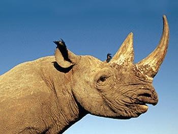 zanimljivosti iz svijeta nauke Lista-13-nosorogfjeut