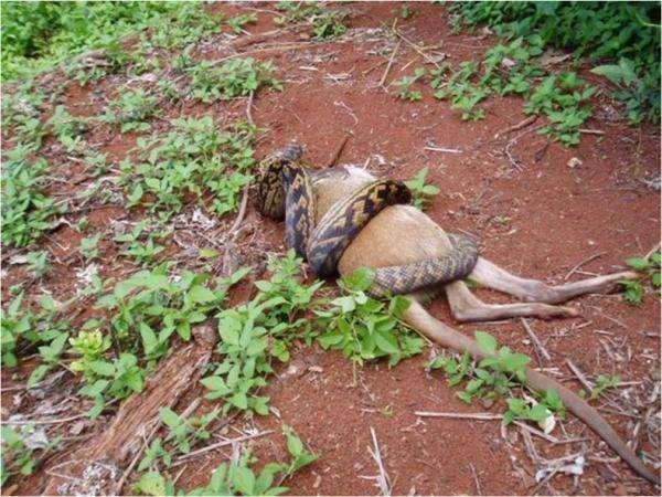 Wąż pożerający kangura 2