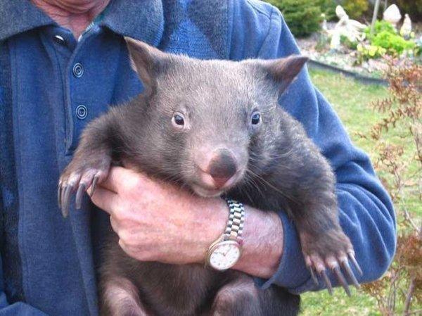 Wombat tasmański 5
