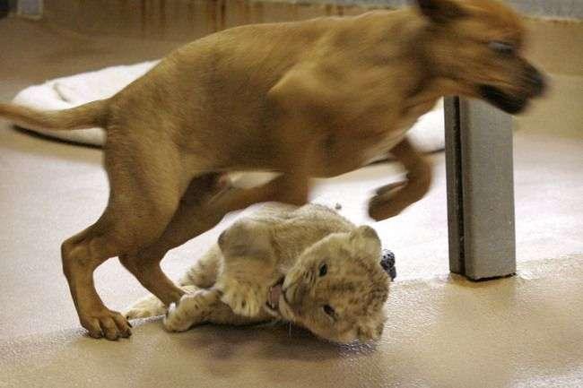 Pies i lew 2