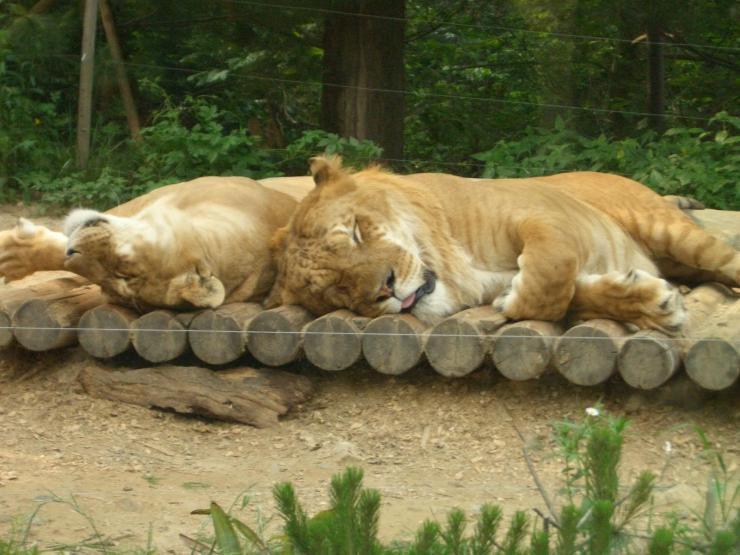 Lygrys - największy kot świata 2