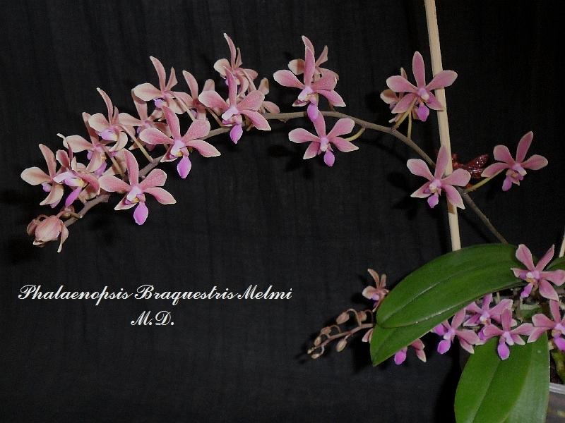Phalaenopsis Braquestris Melmi P-braquestris-melmi-2p1qg8