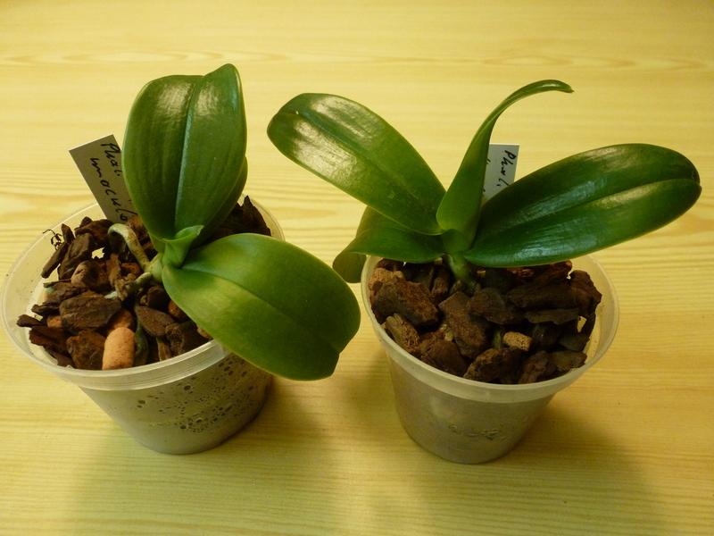 Phalaenopsis maculata - Seite 2 P1010498xau0r