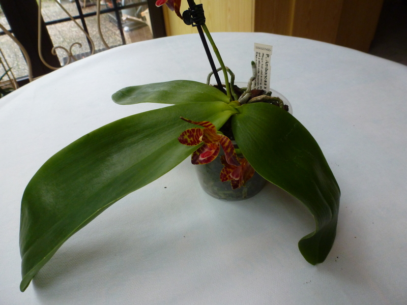 Phalaenopsis Ambonosa x gigantea P10200440yk72